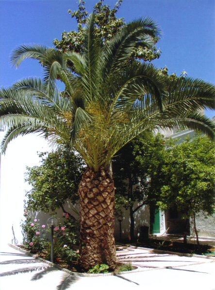 Raddrizzare palma - Tipi di palma da giardino ...